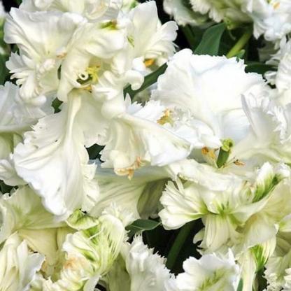 fehér papagáj tulipán_florapont