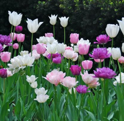 Tulipán kompozíció-5 féle (110 db) 1 Késő tavaszi virágzású tulipánokból összeállított kompozíció. A csomag tartalma 110 db virághagyma és kiültetési rajz.