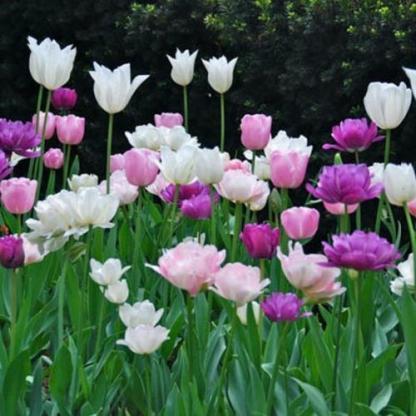 tulipán keverék