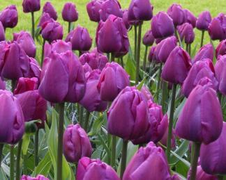 tulipán negrita