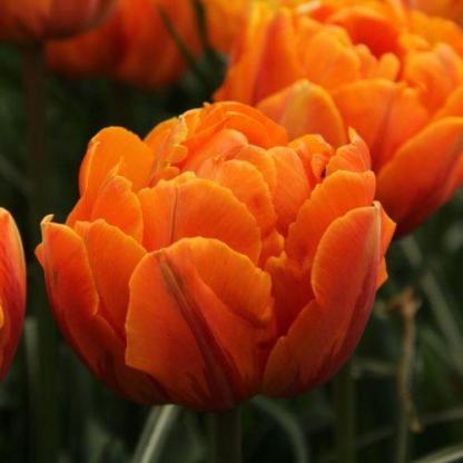 Tulipa Orange Princess - teltvirágú tulipán