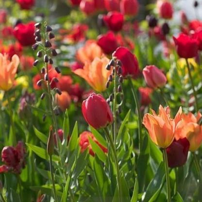 tulipán mix