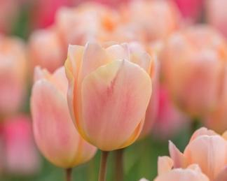 akcios tulipán virághagyma apricot beauty