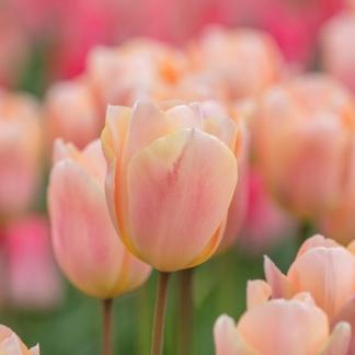A Tulipa 'Apricot Beauty' - Triumph tulipánt barack árnyalatú, halvány rózsaszínű szirmok alkotják.