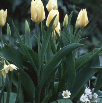 Tulipán-nárcisz-szellőrózsa fehér összeállítás-3 féle-(70 db) 1 Elegáns, egyszerű, mégis megkapó összeállítás díjnyertes virágzású tavaszi hagymásokból. A csomag tartalma 70 db virághagyma és kiültetési rajz.