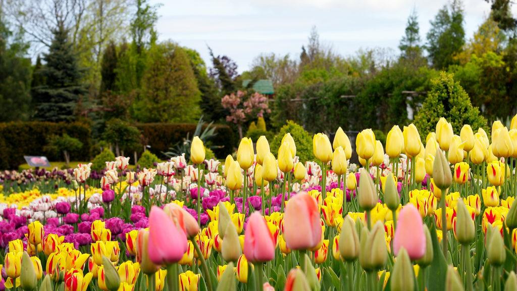tavaszi tulipános kert