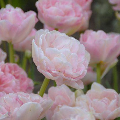 Tulipa 'Angélique' - teltvirágú tulipán virágja a peóniához hasonlít, színe pedig a világos rózsaszíntől egész a sötét rózsaszín árnyalatig terjed.
