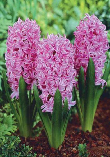 A Hyacinthus 'Pink Pearl' - egyszerű virágú jácint szirmai kívül halványabb árnyalatúak.