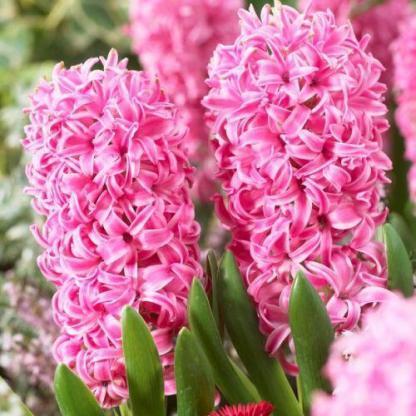 A Hyacinthus 'Pink Pearl' - egyszerű virágú jácint intenzív illatú, díjnyertes növény.