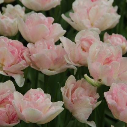 angelique tulipán