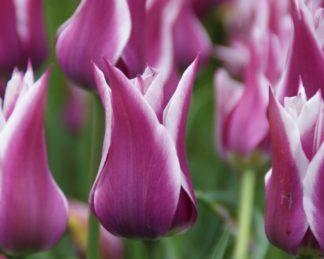 akciós ballade tulipán
