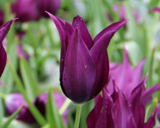 akciós burgundy tulipán