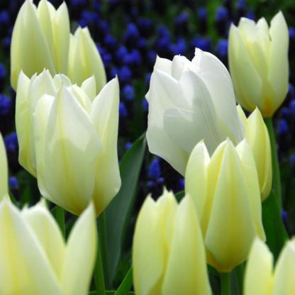 akciós tulipán purissima