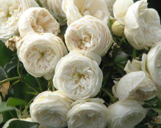 Rosa_'Artemis'_virágbokréta