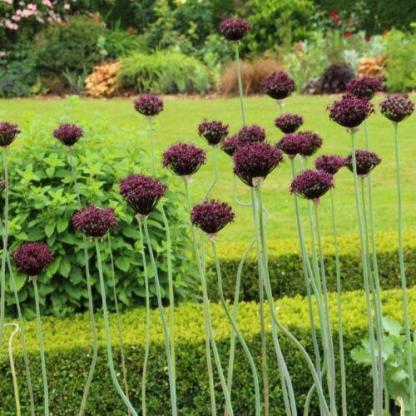 """Allium atropurpureum - díszhagyma 1 Az <strong>Allium atropurpureum - díszhagyma</strong> <span class=""""st"""">Magyarországon őshonos, csillag alakú díszhagyma, gyönyörű mélybíbor színű, félkör alakú, kb 5 cm-es virággal. </span> <ul> <li><em>Kiszerelés: """" A"""" minőségű virághagyma, 10/+ cm</em></li> <li><em>Rendelhető mennyiség: minimum 5 db</em></li> </ul>"""