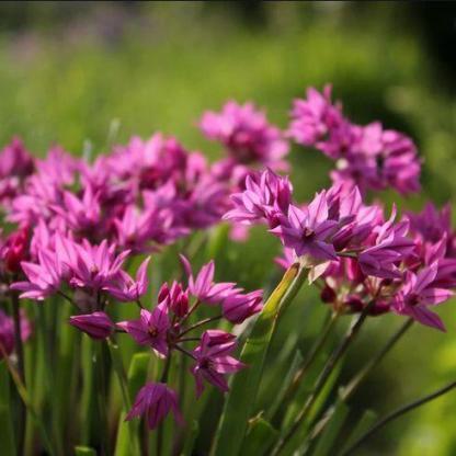 Allium oreophilum hagymánként akár 10 virágot is hozhat.