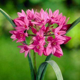allium-orephilum virága