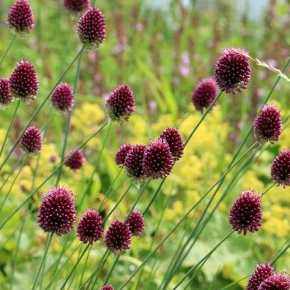 Allium Sphaerocephalon tojás formájú, lila virágú díszhagyma.