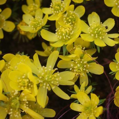A kehely alakú, felfelé álló szirmú Eranthis cilicica mélysárga virágú téltemető, mely a tél végén hajt ki