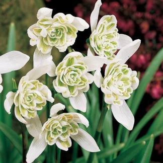 galathus nivalis flore pleno virágszirma