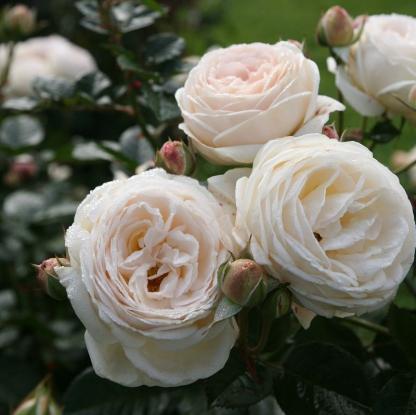 Rosa Artemis ® 1 Káprázatos, romantikus krémfehér színű nosztalgia bokorrózsa.