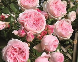 rózsa giardina kúszó rózsa virágai