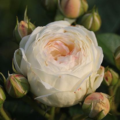 Artemis fehér bokorrózsa