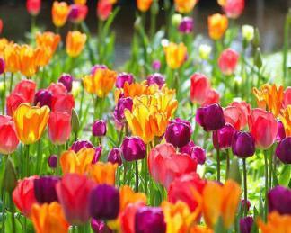 tulipán kombináció vegyes tavaszi kiültetés