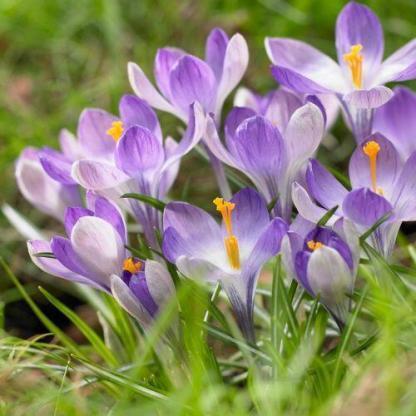 """Crocus 'Yalta' - nagyvirágú krókusz 1 A <strong>Crocus 'Yalta' </strong>nagyvirágú <strong>krókusz</strong>, belső szirmai élénk lilák, külső szirmai halványkékes áranyalatúak. A narancssárga bibék gyönyörű kontrasztot alkotnak a lilás szirmokkal. <ul> <li><em>Kiszerelés: """"A"""" minőségű virághagyma, 5/+ cm</em></li> <li><em>Rendelhető mennyiség: minimum 10 db</em></li> </ul>"""