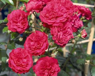 Starlet-Rose Lola