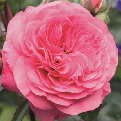 Baronesse - rózsaszín ágyás rózsa