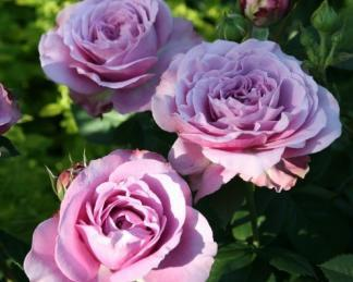 Lavender Ice floribunda rózsa