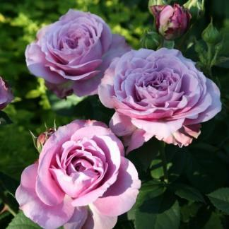 Lavender Ice - lila miniatűr floribunda rózsa