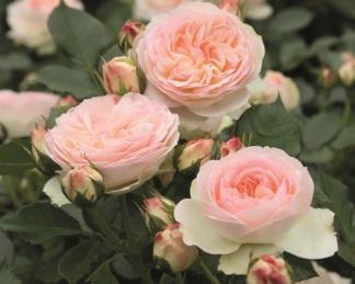 rózsa pastella