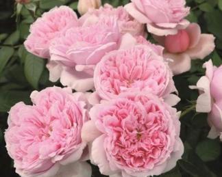 rosa schöne maid virága