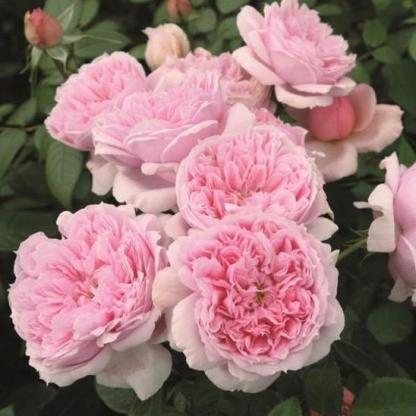 Schöne Maid - rózsaszín nosztalgia teahibrid rózsa