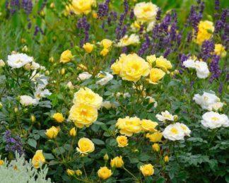 rosa Bienenweide-gelb