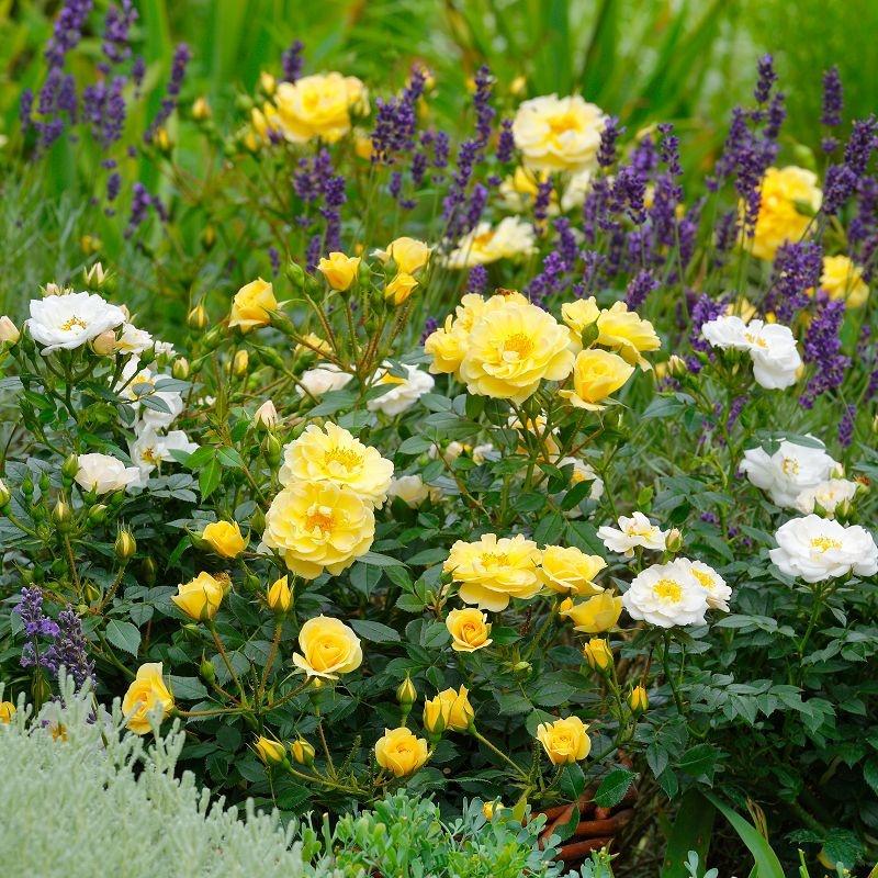 Bienenweide gelb - sárga miniatűr rózsa