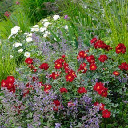 Bienenweide Rot - piros miniatűr rózsa
