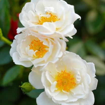 Bienenweide weiss fehér miniatűr rózsa, folyamatosan virágzó
