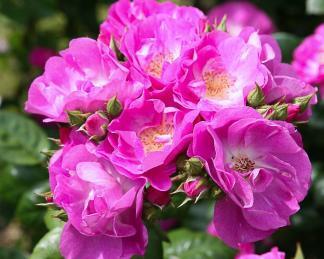 rosa GloballWater