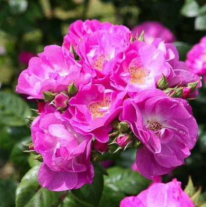 Global Water - élénk rózsaszín bokorrózsa
