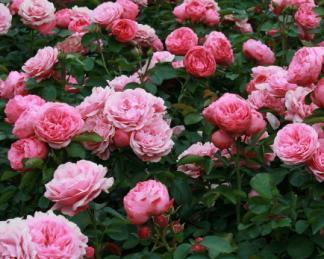 rózsa leonardo da vinci bokor