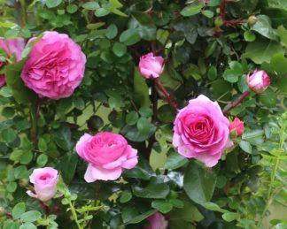 rosa Ozeana