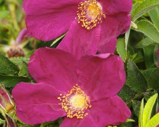 rosa Strandperle-Amrum