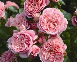 rózsa bailando