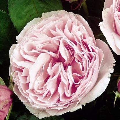 Gartentraume - rózsaszín nosztalgia bokorrózsa