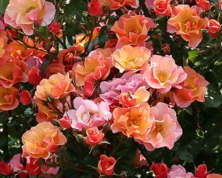 rosa jazz