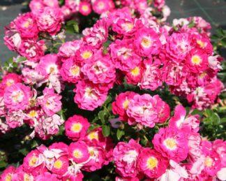 rosa lipstick