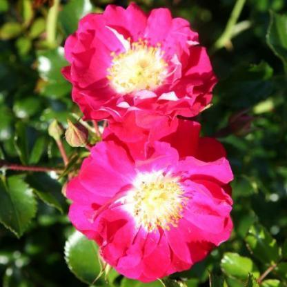lipstick talajtakaró rózsa